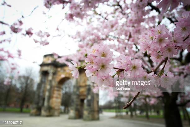 General view of Japanese Cherry Blossom trees blooming near the McLennan Arch in Glasgow Green as Spring weather starts to come into effect on March...