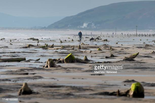 A general view of petrified ancient trees on May 24 2019 in Borth Wales A prehistoric forest which was buried under water and sand more than 4500...