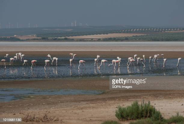 A general view of pink flamingos at Fuente de Piedra Lake in Malaga The lagoon is a natural reserve breeding ground for flamingos This year 600...