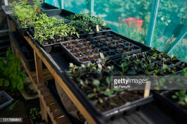 General view of seedlings growing in a greenhouse at allotments in Saltburn on April 08, 2020 in Saltburn By The Sea, United Kingdom. Ministers have...