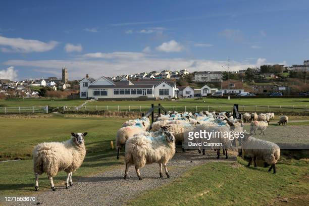 General view of sheep grazing beside the 18th green at Royal North Devon Golf Club also known as Westward Ho! which is the oldest golf club in...