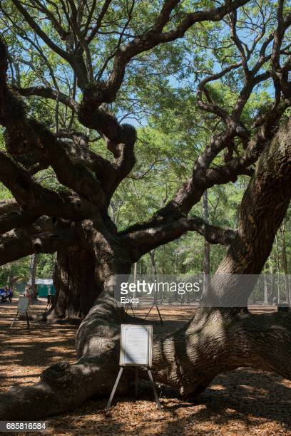 A general view of the Angel Oak Tree located in Angel Oak Park near Charleston South Carolina the tree is over 400 years old and 20 meters tall