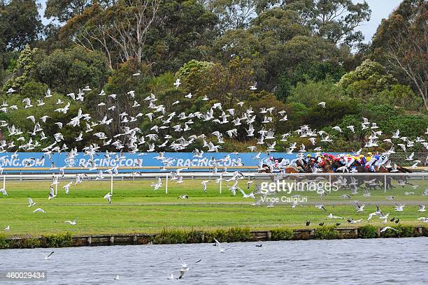 General view of the flock of seagulls at the barrier start of Race 8 during Melbourne racing at Sandown Hillside on December 6 2014 in Melbourne...
