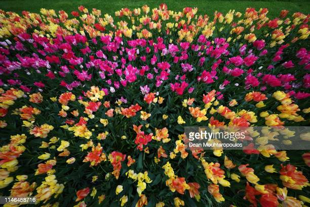 A general view of the floral displays on show at Keukenhof Gardens on May 01 2019 in Lisse Netherlands The flower park is open to the public from...