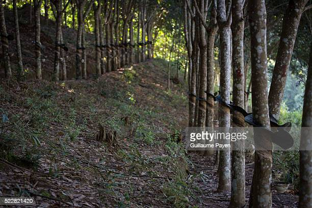 A general view of the hevea plantation in the province of Bokeo owned by Chinese entrepreneurs Rubber plantations in Laos are expanding rapidly due...