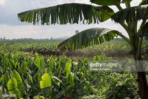 S BANANA PLANTATION BOKEO LAOS A general view of the huge banana plantation owned by Chinese The Ton Pheung district in the Laos province of Bokeo...
