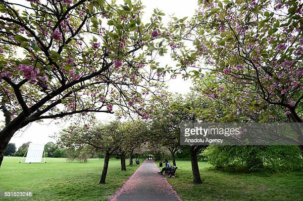 General view of the last of the seasons Cherry Blossom at Greenwich Park in London United Kingdom on May 15 2016