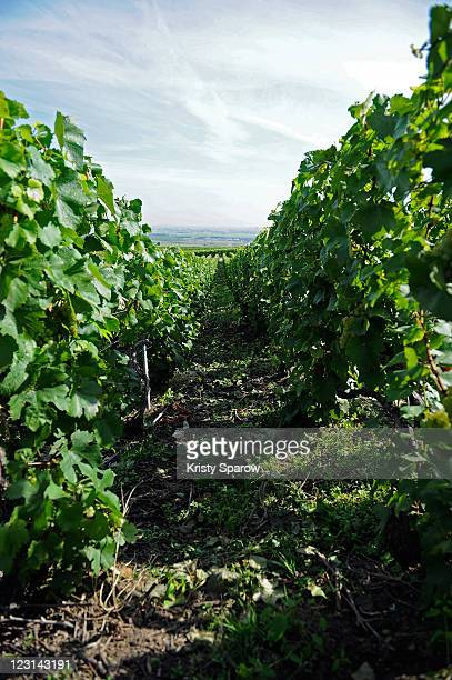 A general view of the Nicolas Feuillatte champagne vineyards on August 31 2011 in Epernay France
