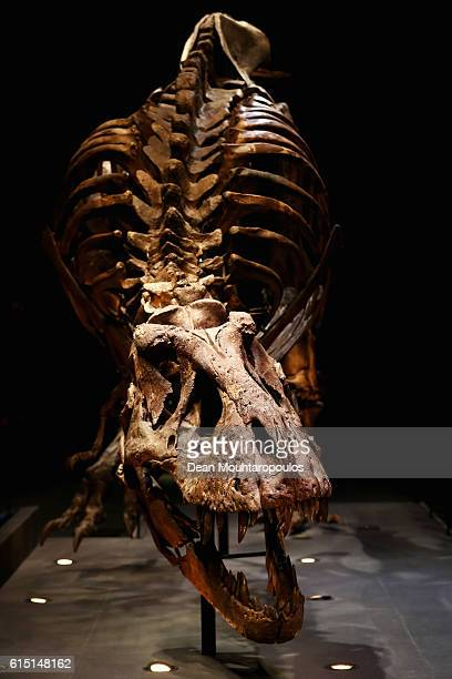 A general view of the skull jaw rib cage and teeth of Trix the female TRex exhibition at the Naturalis or Natural History Museum of Leiden on October...