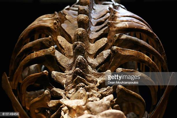 A general view of the spine and rib cage of Trix the female TRex exhibition at the Naturalis or Natural History Museum of Leiden on October 17 2016...