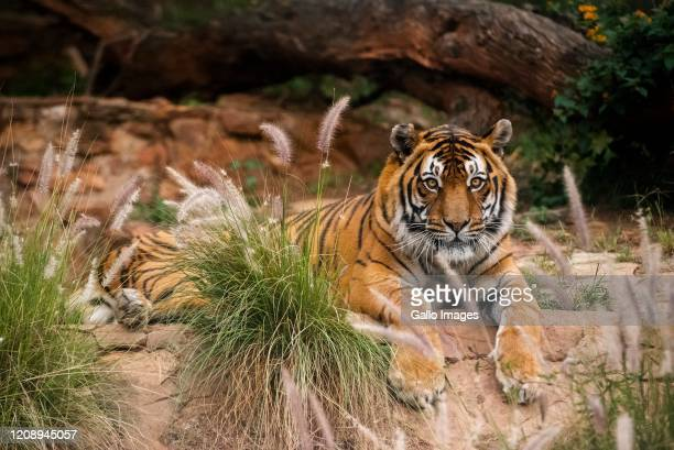 General view of the tiger at The National Zoological Gardens of South Africa on Day Seven of National Lockdown on April 02, 2020 in Pretoria, South...