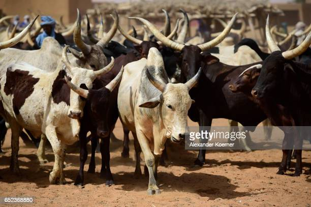 General view of the weekly cattle market on the outskirts of Gao on March 7 2017 in Gao Mali Each week locals and Touareg nomads gather at the market...