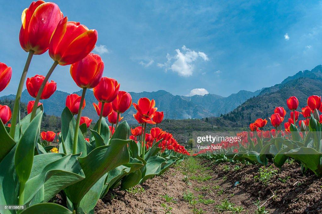 Fotoalbum Spring Flowers In Bloom In Asia S Largest Tulip Garden