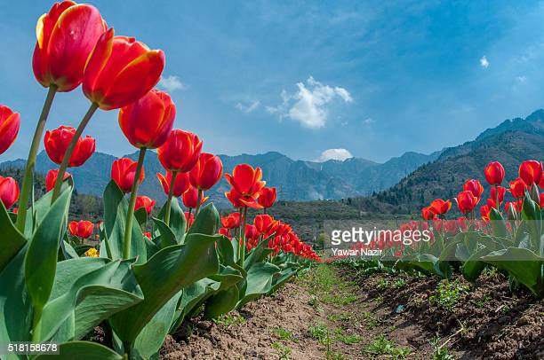 A general view of Tulip flowers in full bloom in Siraj Bagh where more than 2 Million tulips are expected to bloom during spring season on March 29...