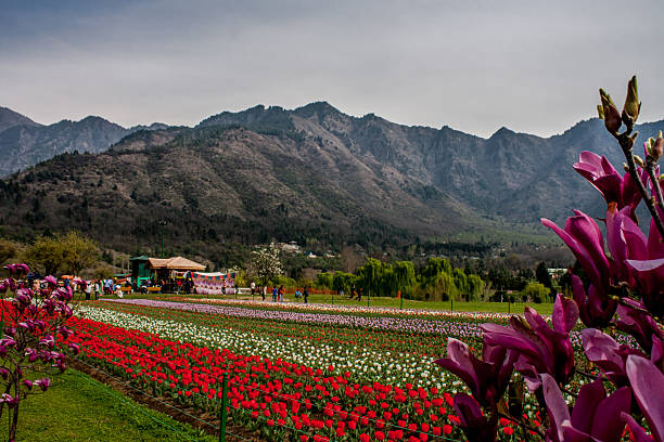 Spring flowers in bloom in asias largest tulip garden photo album a general view of tulip flowers in full bloom in siraj bagh where more than 2 mightylinksfo