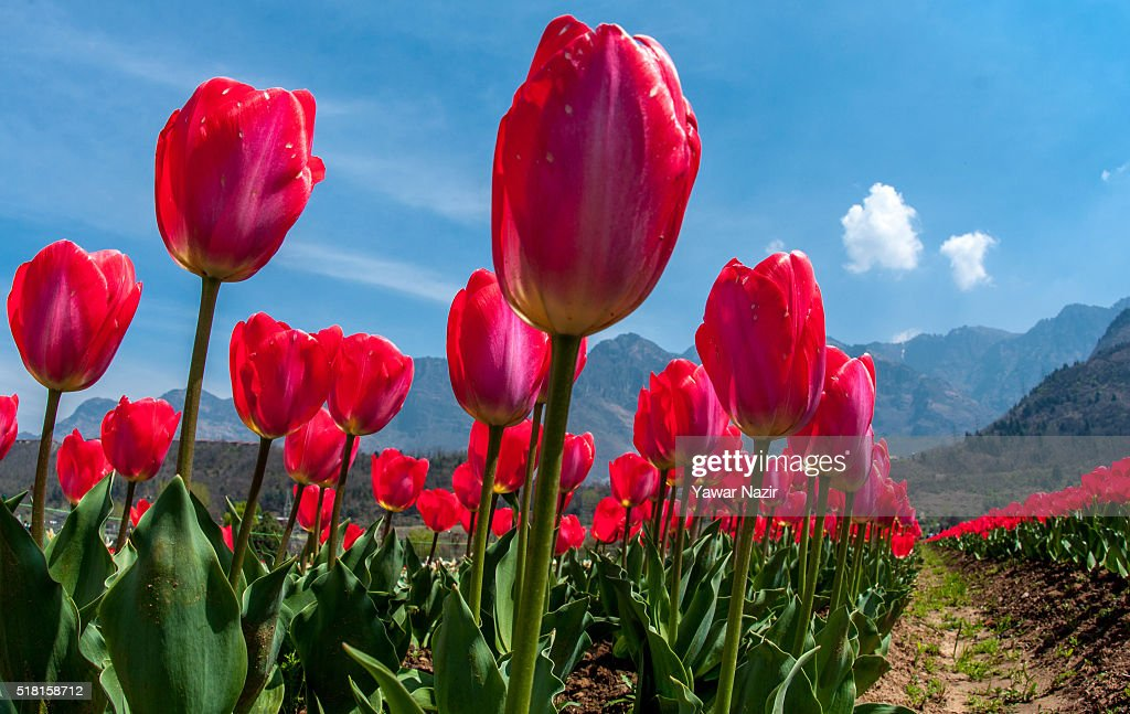 Spring flowers in bloom in asias largest tulip garden photos and a general view of tulip flowers in full bloom in siraj bagh where more than 2 mightylinksfo