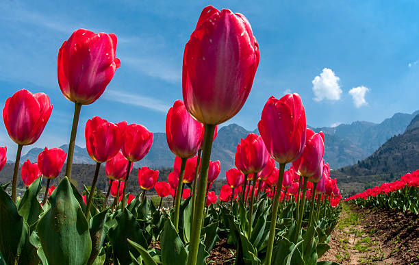 Photos et images de spring flowers in bloom in asias largest tulip a general view of tulip flowers in full bloom in siraj bagh where more than 2 mightylinksfo