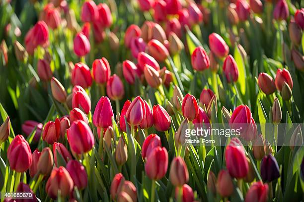 General view on Dutch National Tulip Day in front of the Royal Palace at Dam Square with the theme 'share joy, give tulips', on January 17, 2015 in...