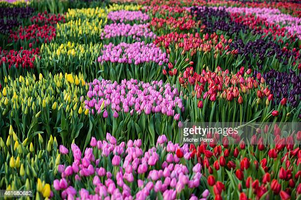 A general view on Dutch National Tulip Day in front of the Royal Palace at Dam Square with the theme 'share joy give tulips' on January 17 2015 in...