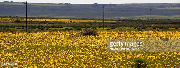 General view shows a field of blooming flowers on August 10 2009 on the outskirt of the small town of Nieuwoudtville in the Northern Cape Spring has...