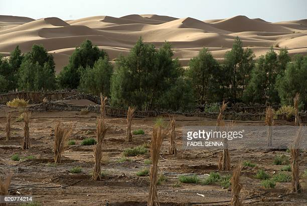 A general view shows a palm field suffering from desertification on October 27 2016 near Morocco's southeastern oasis town of Erfoud north of...
