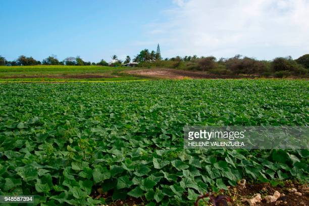 A general view taken on April 11 2018 shows a cucumber plantation in SaintFrancois on the French overseas territory of Guadeloupe