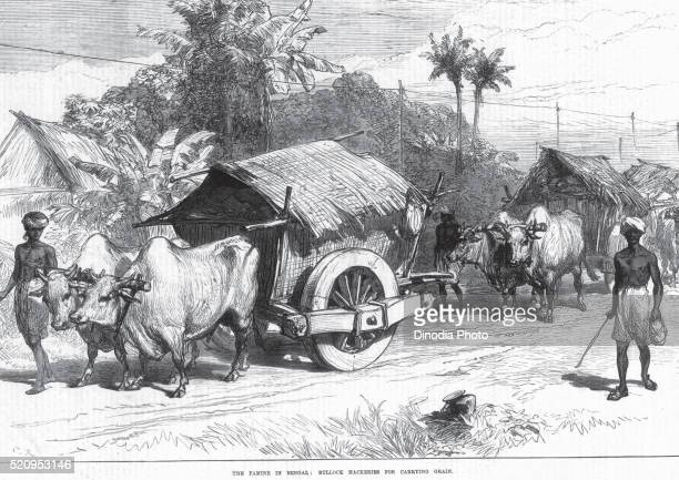 General view The Famine In Bengal Bullock Hackeries for carrying grain, West Bengal, India