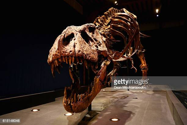A general view the skull jaw and teeth of Trix the female TRex exhibition at the Naturalis or Natural History Museum of Leiden on October 17 2016 in...