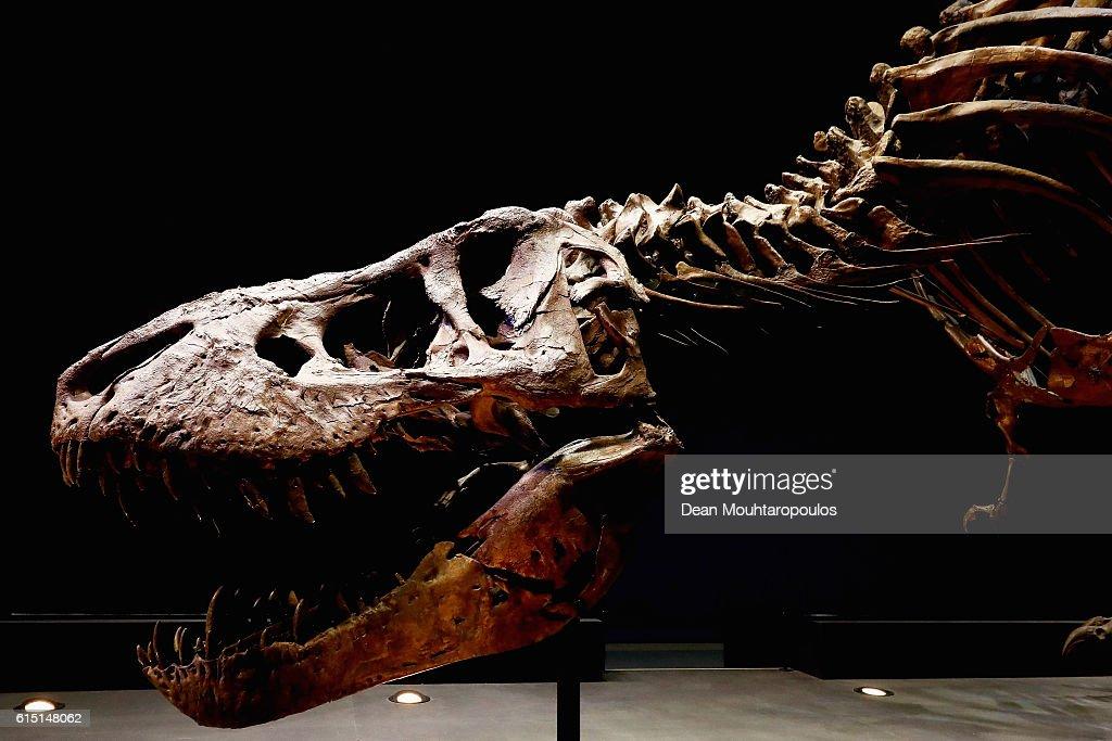 T rex named Trix at Naturalis Museum of Leiden : News Photo