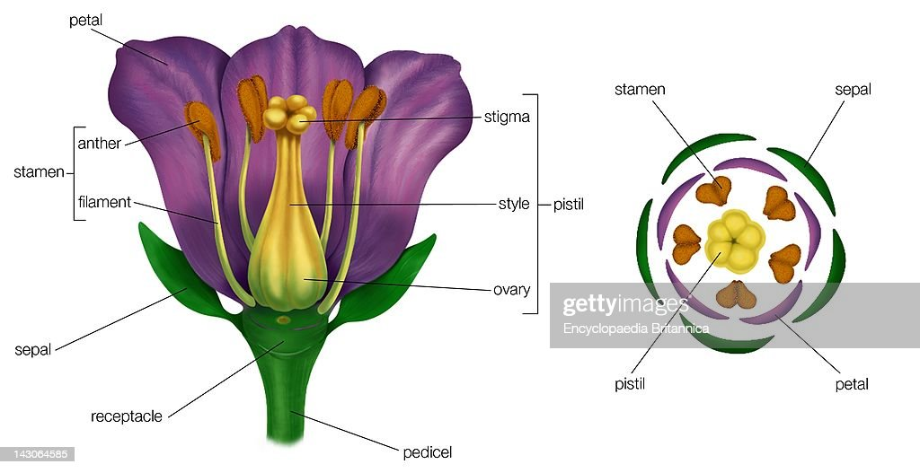 Generalized Flower With Parts ; Diagram Showing ...