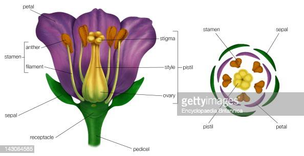 Generalized    Flower    With    Parts         Diagram    Showing
