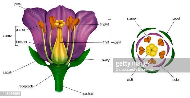 Generalized Flower With Parts Diagram Showing Arrangement Of Floral Parts In Cross Section At The Flower'S Base