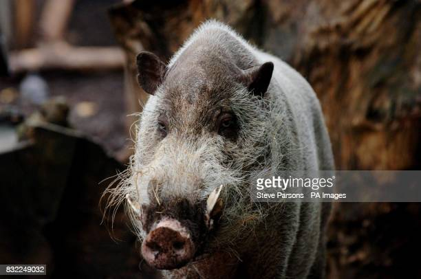 Generic stock picture of a bearded pig at London Zoo in Regent's Park in Cental London