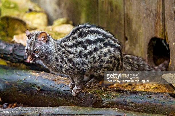 genet on the log - civet cat stock photos and pictures
