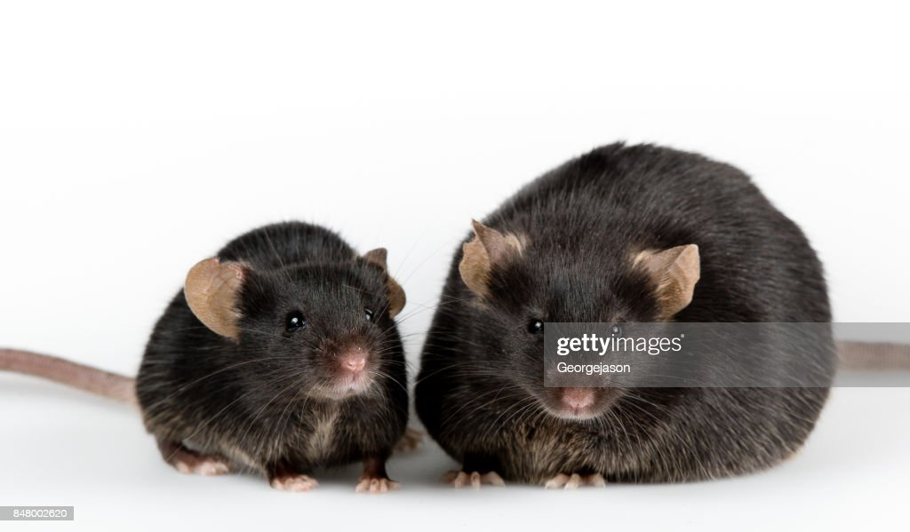 Genetic obese mouse with black healthy control : Stock Photo