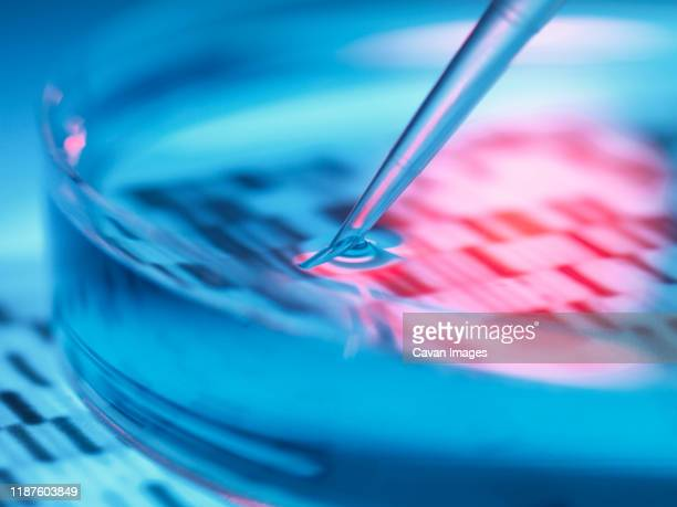 genetic research, pipetting sample into petri dish with dna results. - science stock pictures, royalty-free photos & images