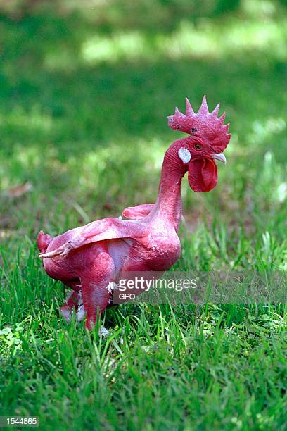 A genetically engineered featherless rooster struts around the campus of the Hebrew University of Jerusalem's Department of Agriculture May 22 2002...