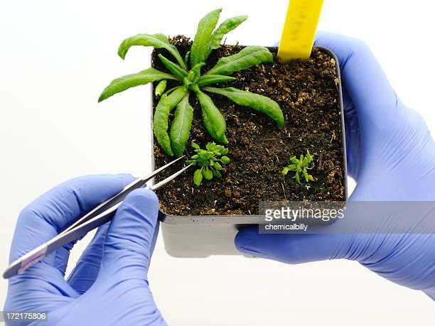 De plantes génétiquement modifiées