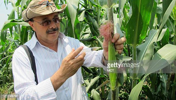 Geneticist Clemente Villanueva shows how farmers can inject spores of huitlacoche into ears of corn so that the delicious parasitic fungus can grow...