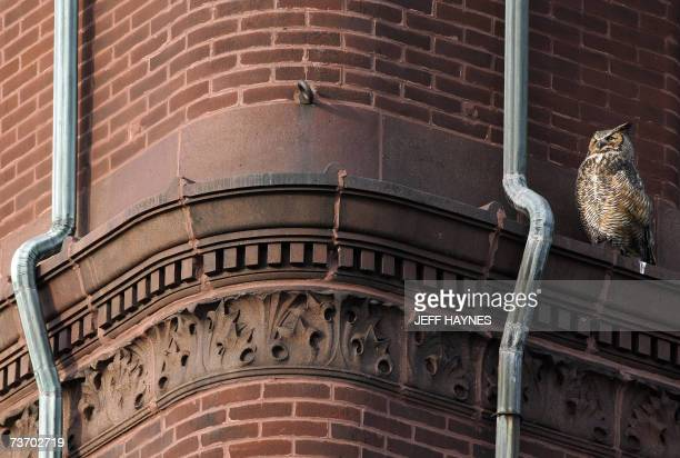 Geneva, UNITED STATES: A Female Great Horned Owl sits atop the Kane County Courthouse 26 March, 2007 over looking her nest of two young owletts in...