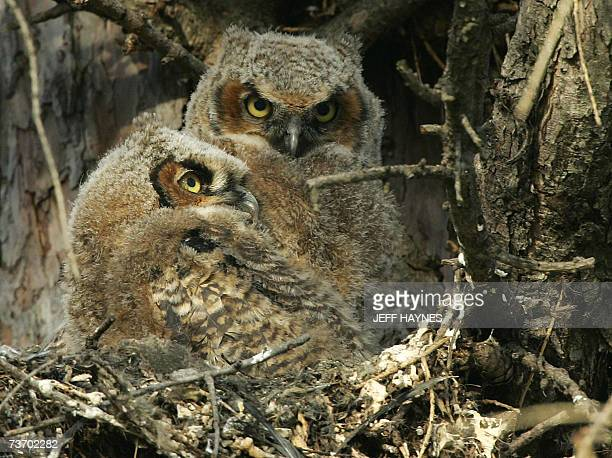 Geneva, UNITED STATES: Two young Great Horned Owls sit in their nest at Kane County Courthouse 26 March, 2007 in Geneva, Illinois. The owls can range...