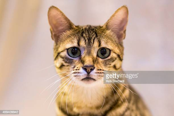 Geniemau Yasmina Femi an Egyptian Mau cat being judged at the Governing Council of the Cat Fancy's 'Supreme Championship Cat Show' at the NEC Arena...
