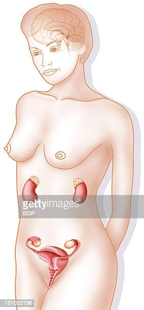 Genital Apparatus Of A Senior Woman In A Menopaused Woman The Halt Of Production Of Sexual Hormones By The Ovaries Is In Part Compensated By The...