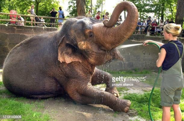 """Genüsslich streckt Elefantendame """"Kiri"""" der Tierwärterin am 14.8.2000 im Nürnberger Tiergarten ihren Kopf hin, um eine kühlende Dusche zu empfangen...."""