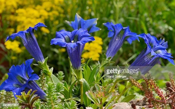 Gentian -Gentiana clusii- in a rock garden