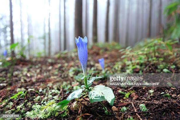 Gentiana in foggy forest