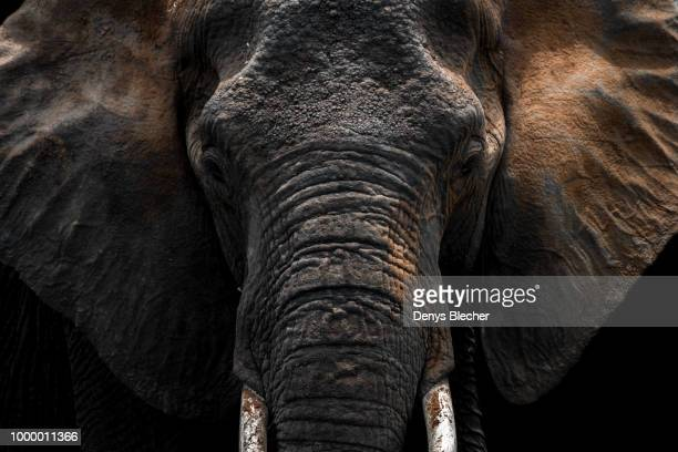 a gentle giant - elephant head stock-fotos und bilder