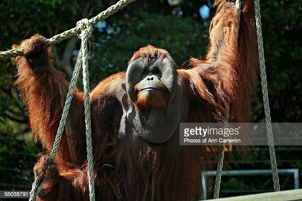 a gentle giant - taronga zoo stock pictures, royalty-free photos & images
