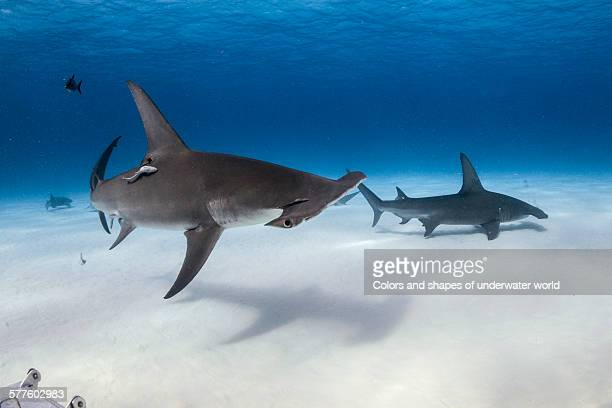 gentle giant - south bimini stock photos and pictures
