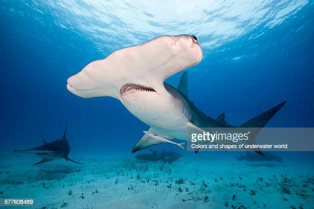 gentle giant - hammerhead shark stock pictures, royalty-free photos & images